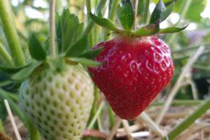 Erdbeere reift auf dem Feld